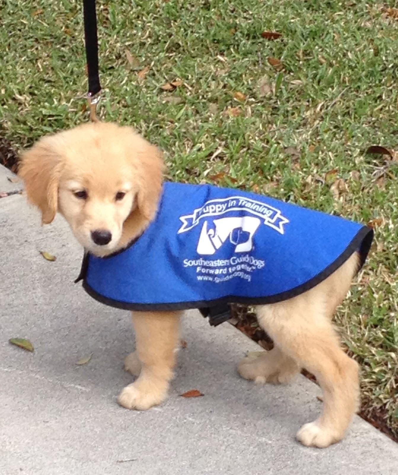 Seeing Eye Dog Training Puppy