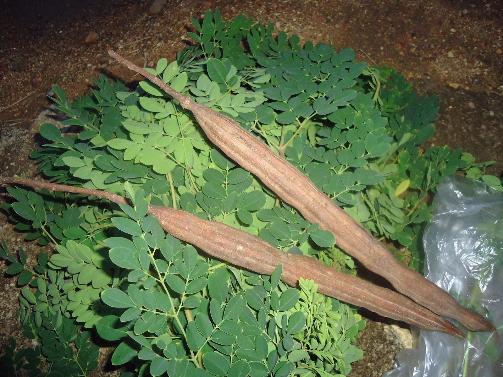 Passions sud plante magique n 1 le moringa oleifera for Ou acheter des plantes