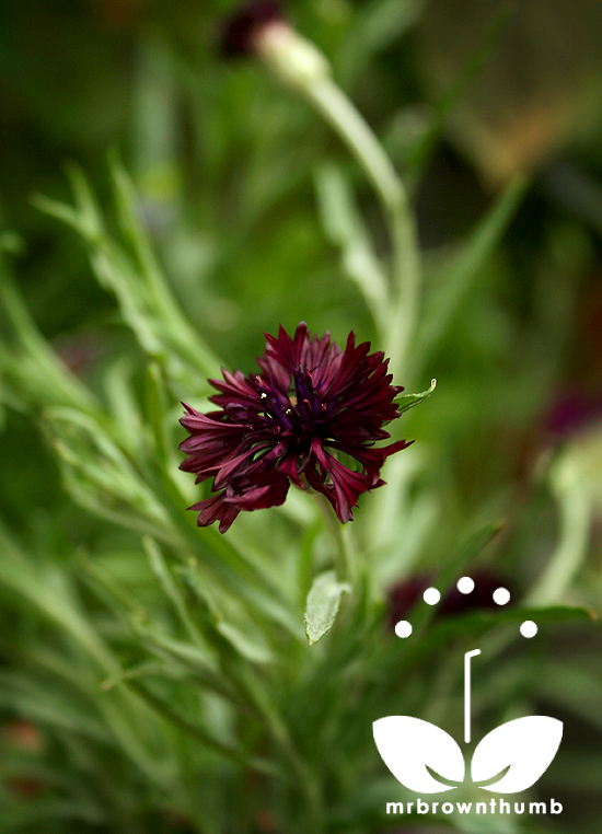 'Black Boy' Bachelor's Buttons' Centaurea cyanus