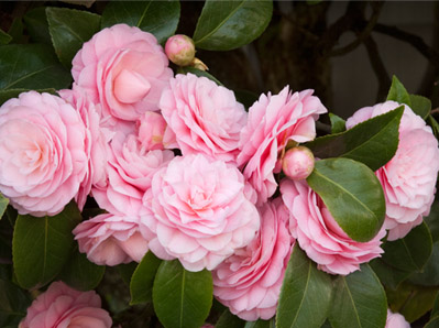 Anisti ibuno flowers camellia plants - Camelia planta ...