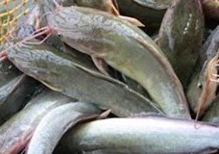 6 Khasiat Ikan Lele Bagi Kesehatan