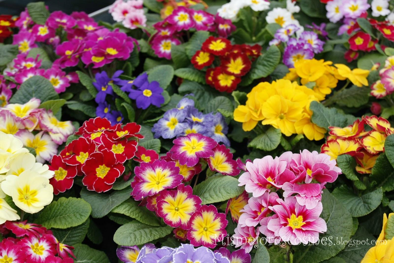 Mis mejores cosines ciclamens primaveras y mas flores en for Viveros de plantas en concepcion