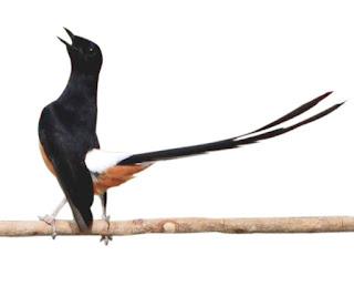 Burung Kicau Indonesia Burung Yang Selalu Di Gemari Para Kicau Mania Dan Harus di Lestaeikan