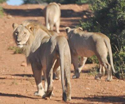 4789_sasan-girl-lion-740347.jpg
