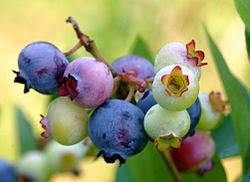 قائمة الفواكه 250px-PattsBlueberries