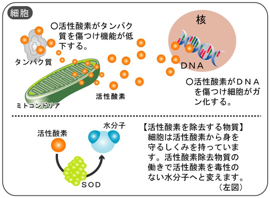 細胞内器官ミトコンドリア④ ■ミトコンドリアと活性酸素の関係 ミトコンドリアで酸素を使いエネルギ
