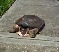 tortuga mas rápida