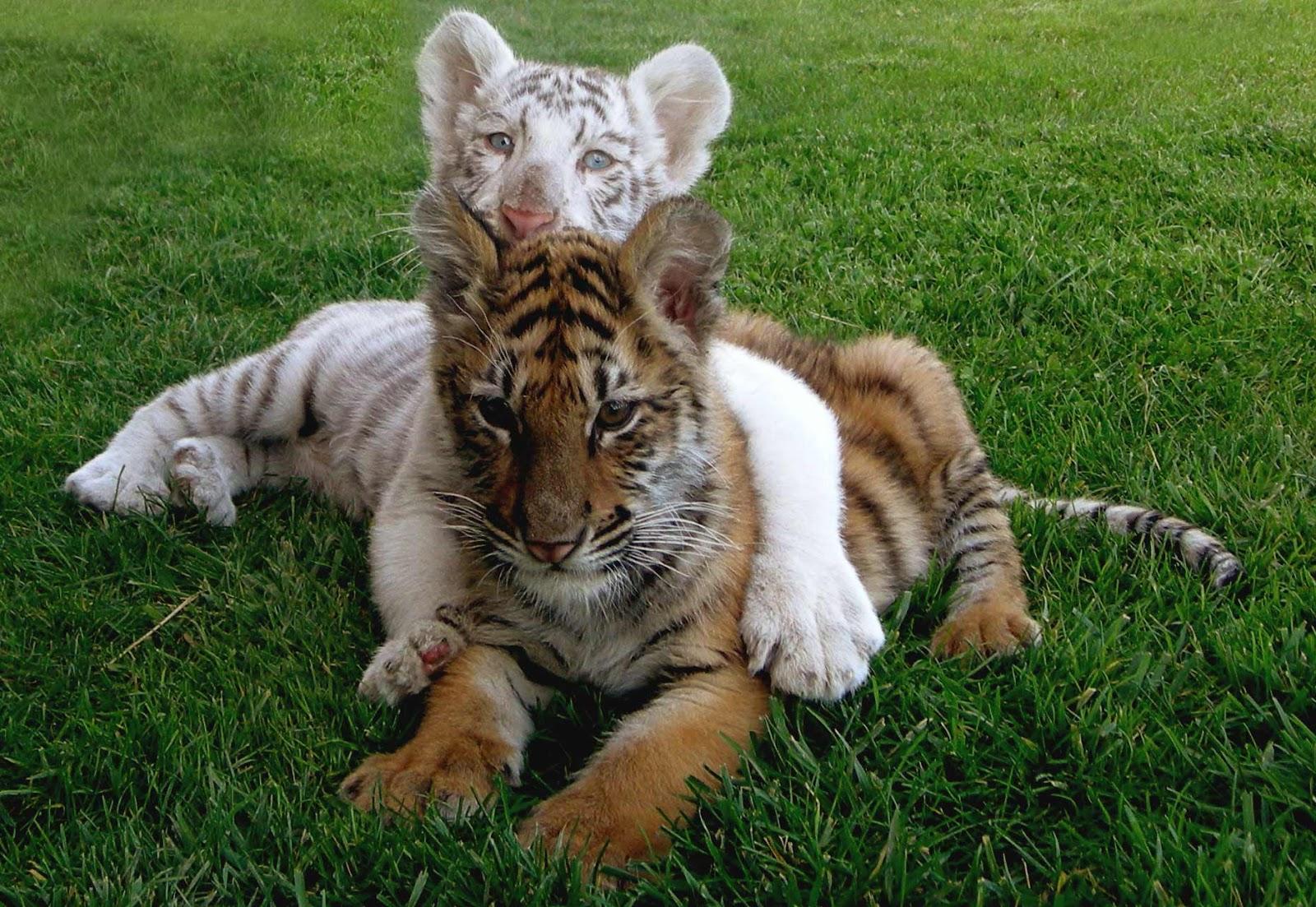 Tigre blanco mentira y verdad de una criatura fascinante - Banco blanco ...