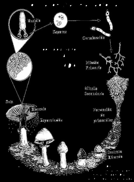 Los hongos edible fungi edible mushroom biolog a for Como se cocinan las setas
