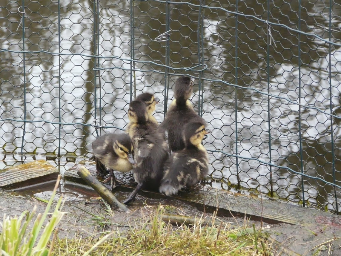 A Rotherhithe Blog: Ducklings released from accidental chicken wire ...