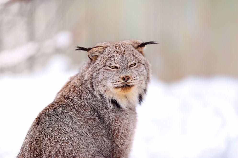6. Canadian Lynx
