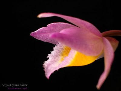 Orquídea Dendrobium loddigesii