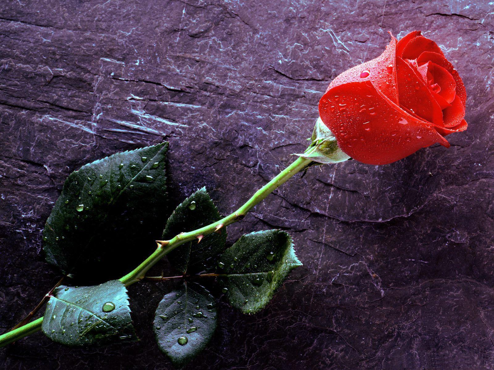 http://2.bp.blogspot.com/-YVKbGCL5jvA/T9V2Bd1UKpI/AAAAAAAAFgg/dN0SKOXRzjc/s1600/Rose-Wallpaper-74.jpg