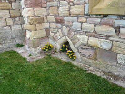 Wallflower at Church, Lindisfarne