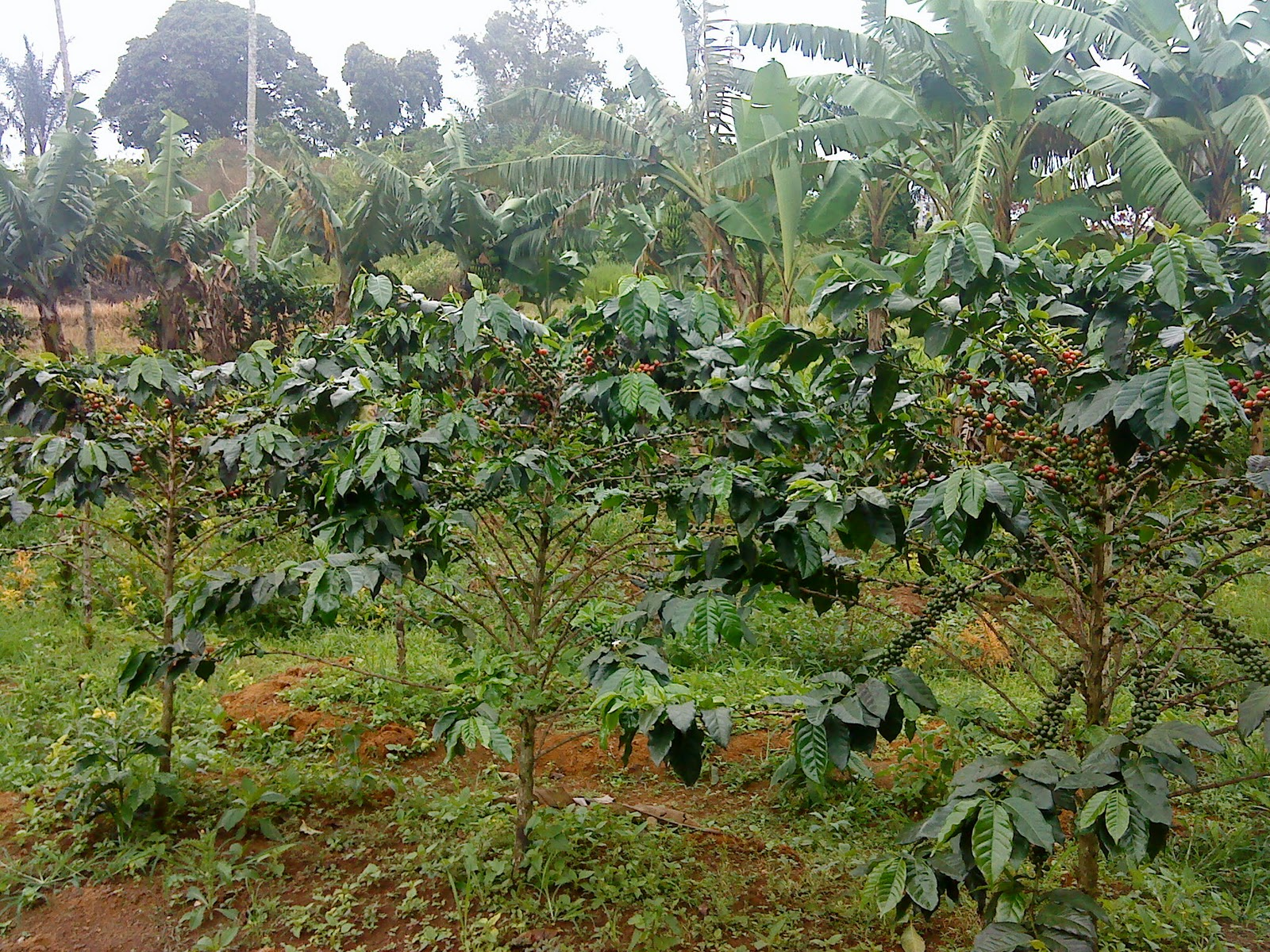 Coffee trees - Kopi Ateng