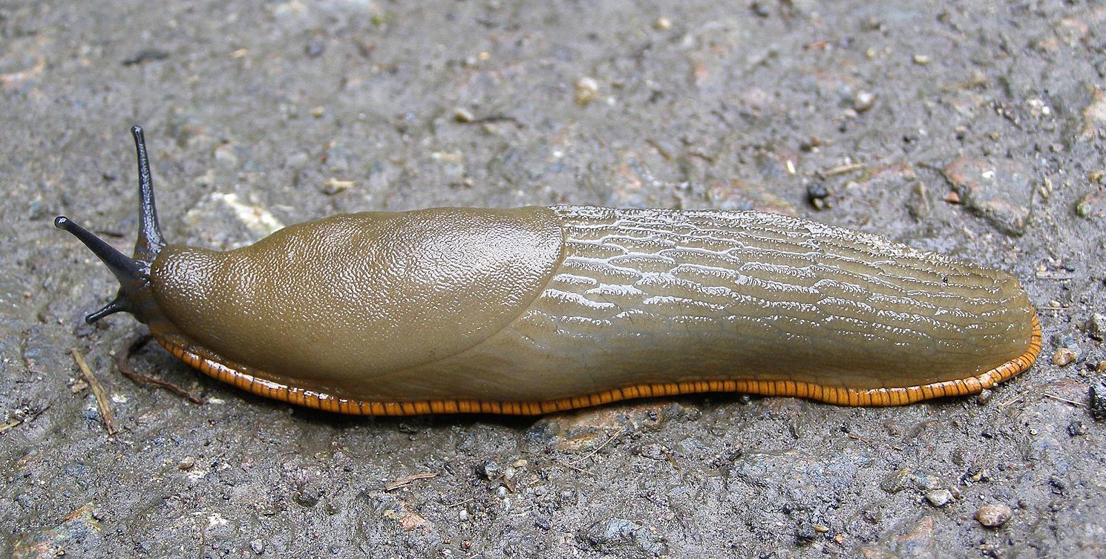 Slugs Animal