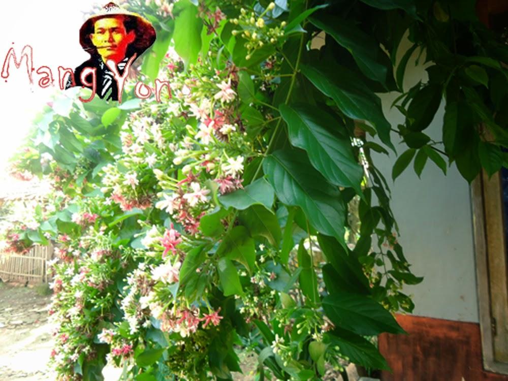 Bunga Melati Belanda depan dapur Mang Yono