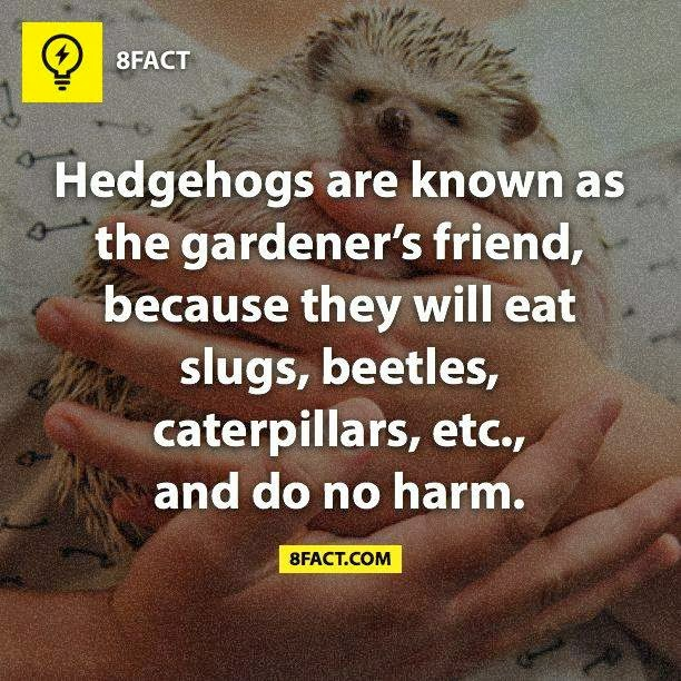 Hedgehogs are known as the gardener's friend,because they will eat slugs,beetles,caterpillars,etc.,and do no harm.
