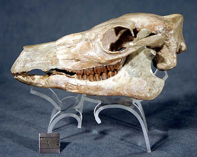 Poebrotherium skull