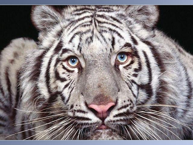 Hình nền con hổ, hình ảnh con cọp, xem hình con cọp