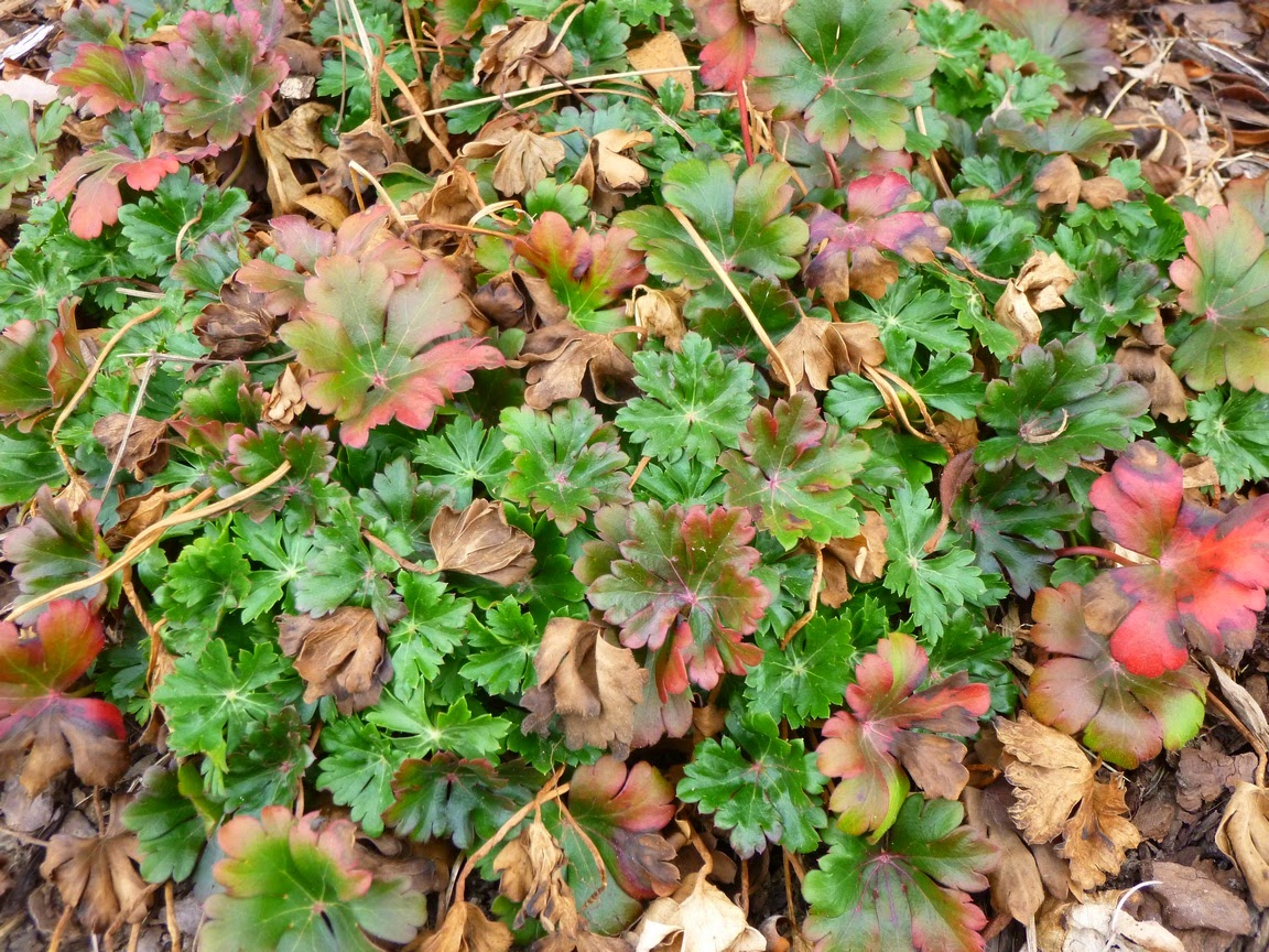 "Geranium x Cantabrigiense, Cambridge Geranium ""Biokovo"""