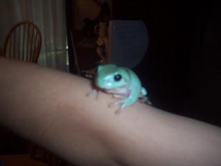 Blue Dumpy Frog