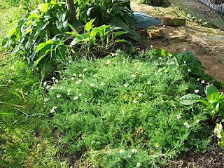 Chamomile growing on the Babington leek bed