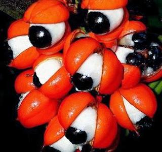 شاهد بالصور.....النبات الذى له عيون -  الغوارنا- بالكاكاو البرازيلي-  Paullinia cupana - plants has eyes