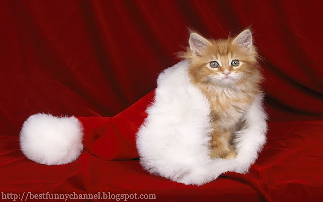 The biggest Christmas Cat