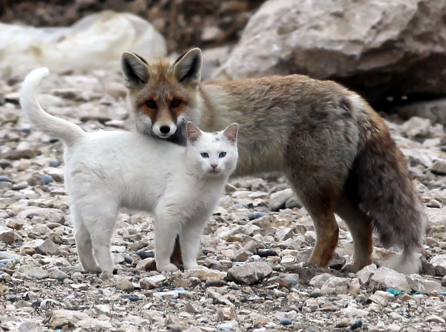 Image of: Elephant Cat And Fox Become Best Friends Van Cat Fox Pictures Cat And Fox Frogs Blog Wordpresscom Unlikely Friendship Cat And Fox 10 Pics Funny Animal Love