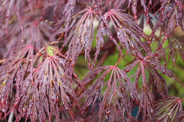 Close-up of Acer palmatum 'Dissectum Atropurpureum' leaves in the rain
