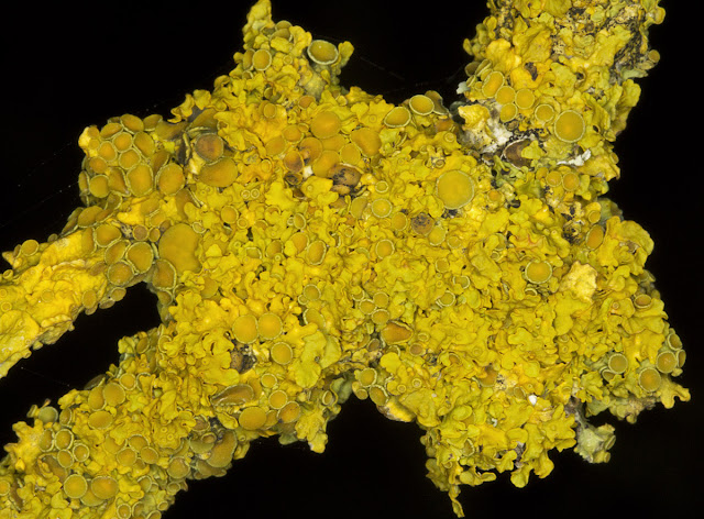 Xanthoria polycarpa. Orpington Field Club outing to Blackbush Shaw, Cudham, on 19 November 2011.