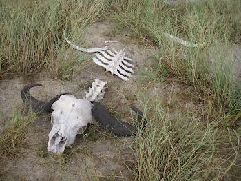 Dead buffalo :(