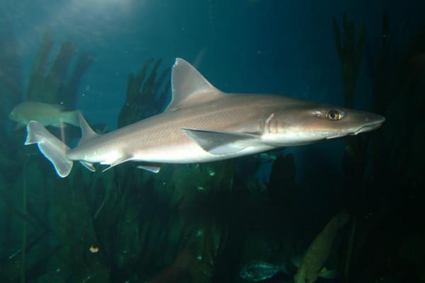 Tiburones en Galicia: Musola (Mustelus mustelus)