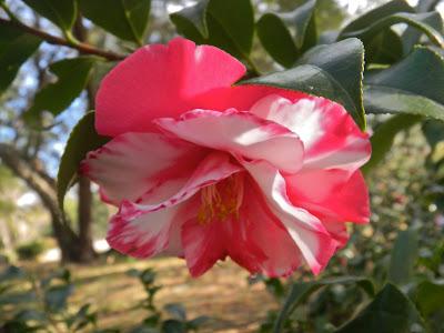 Variegated camellia japonica