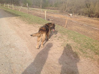 Большая рыжая собака