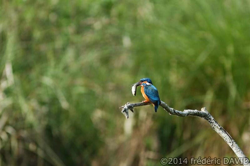 nature animaux oiseaux marin pêcheur marais Misery Essonne