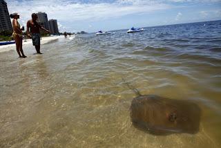 Milhares de peixes e animais mortos são encontrados na Flórida. Consequências ainda do derrame de óleo no Golfo do México?