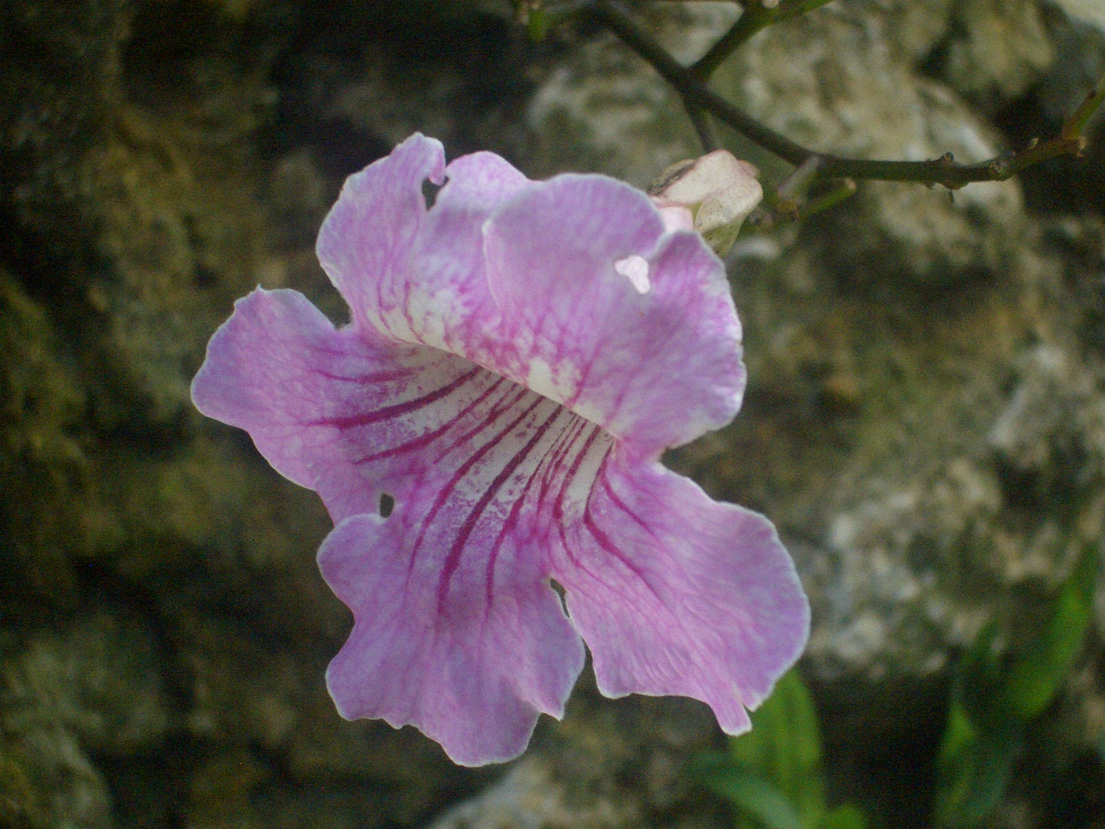 Eileen first interest beautiful plants and flowers outdoor and this is one of the plants podranea ricasoliana which i saw in kitma compound its planted at their wide lawn and gives out pink flowers profusely izmirmasajfo