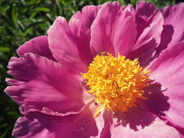 A bug and a Pink Peonies