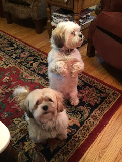 Photo of Bailey and Bella, two Lhasa Apsos