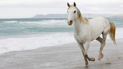 computer wallpaper, wallpapers for computer, wallpaper for computer, horse pictures, free desktop wallpaper of white horses,  white horses wallpapers, white horses pictures, wallpapers for computer, background computer wallpaper, wallpapers for computer, white horses