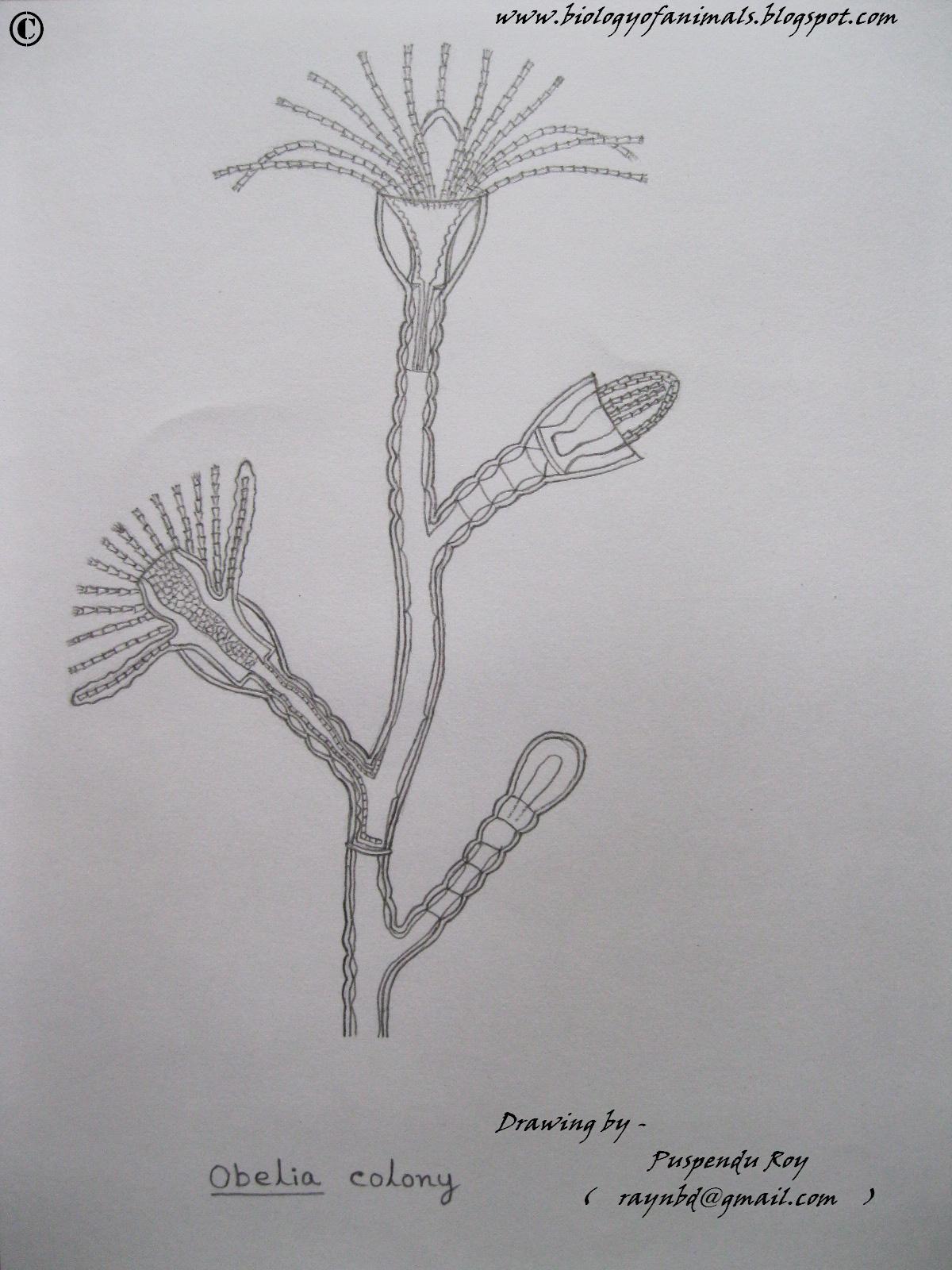 Biology Of Animals  Sketch Of Obelia Colony