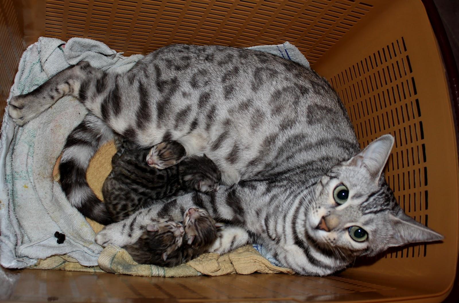 Бенгальские котята от дионисии и