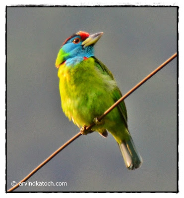 Barbet, Blue Throated Barbet