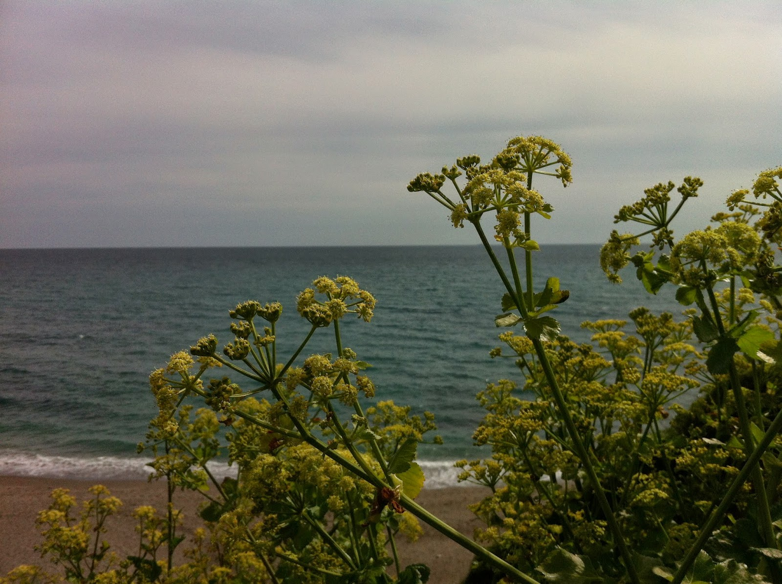 Alexanders by the sea at Portwrinkle or Finnygook