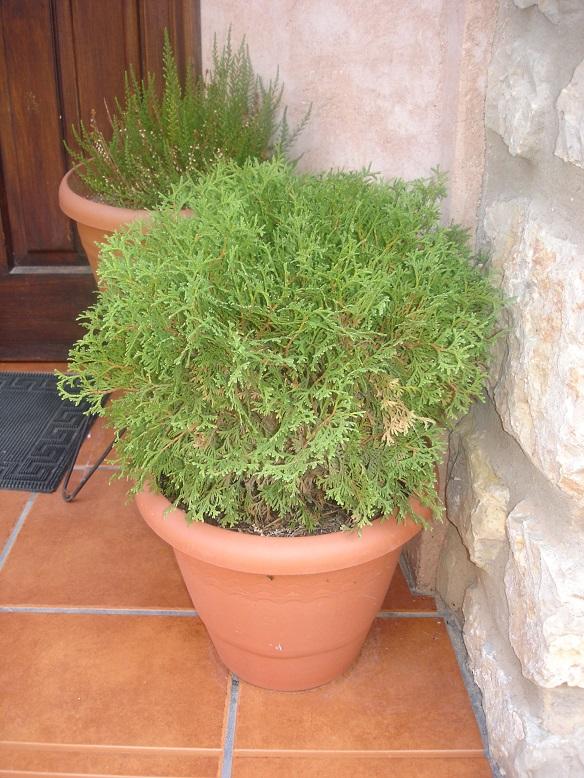 El jard n en macetas coniferas para el cultivo en macetas for Jardines en macetas