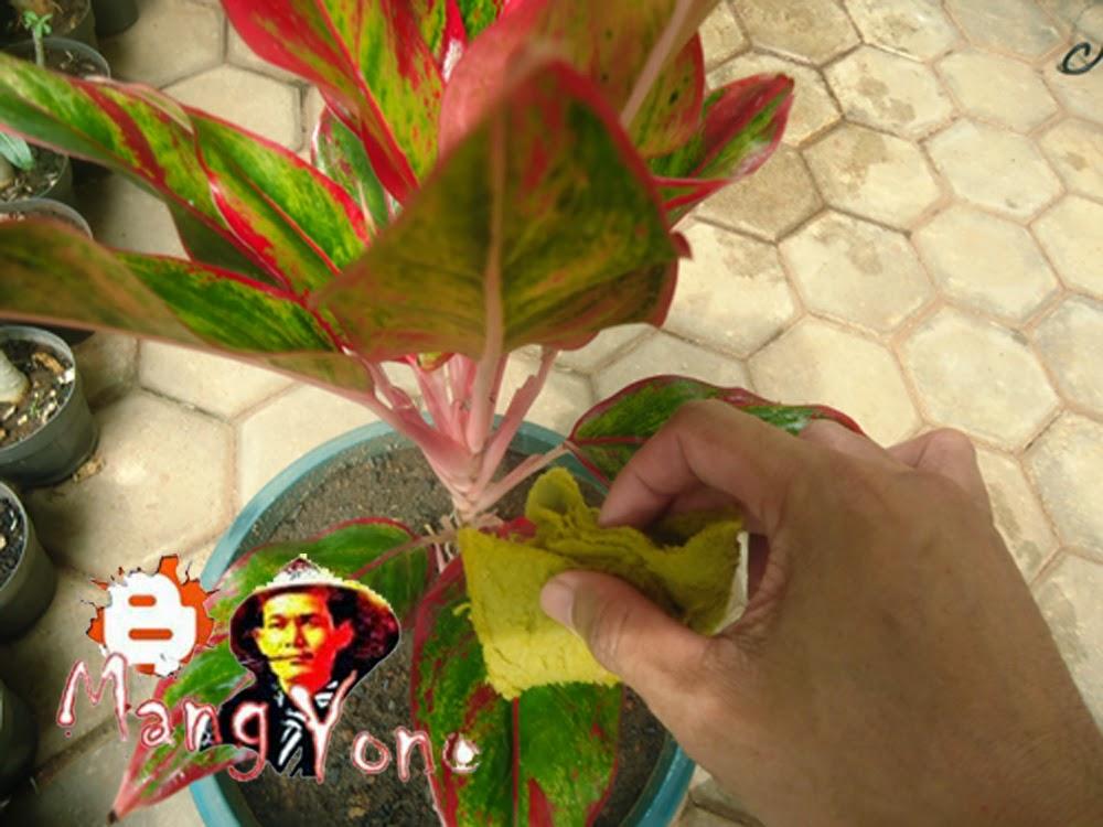 Cara Merawat daun tanaman bunga Donna Carmen / aglaonema