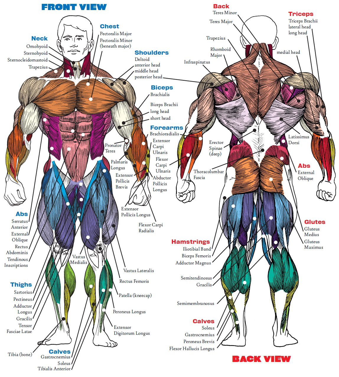 Bodybuilding muscle anatomy