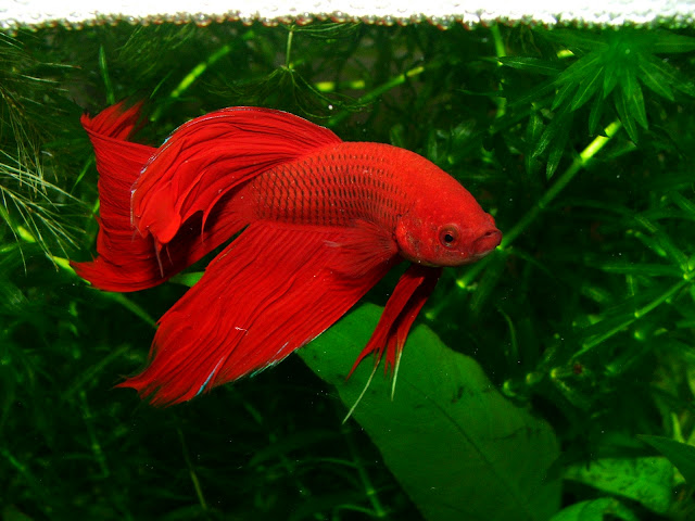 Red Fighter Fish